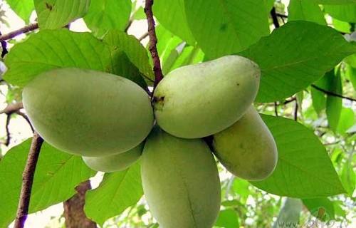про азимину,виды азимины,выращивание