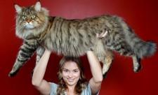 самая большая домашняя кошка в мире фото