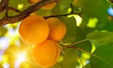 Все про абрикос,абрикос обрезка