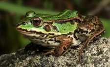чем питаются лягушки