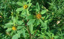 лечебная трава chereda-trexrazdelnaya