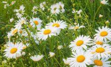 трава ромашка лечебные свойства